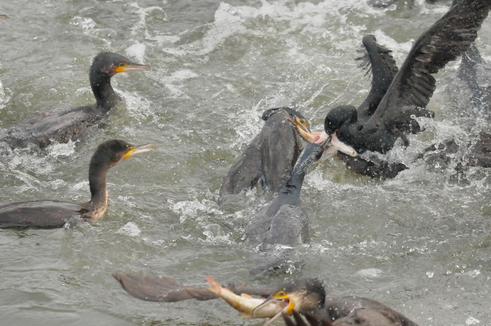 Die aktuelle Gefährdungssituation der heimischen Fischfauna und die sich daraus resultierende Notwendigkeit eines Kormoranmanagements