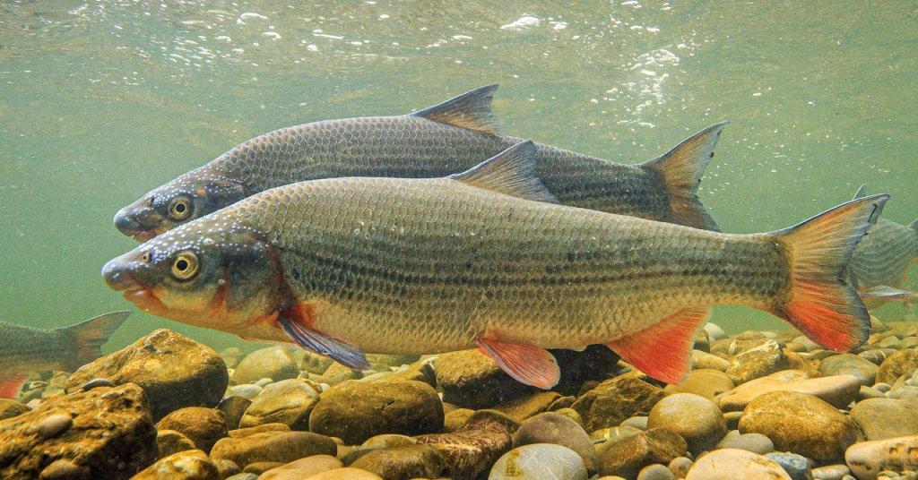 Fisch des Jahres 2020 - Die Nase (Chondrostoma nasus)