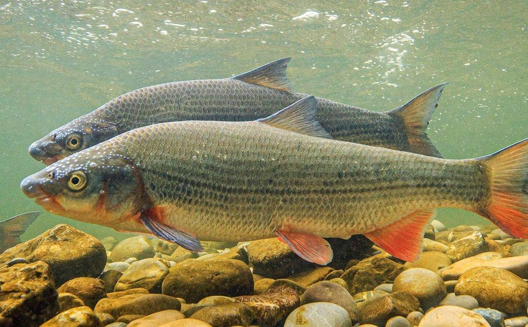Fisch des Jahres 2020 – Die Nase (Chondrostoma nasus)