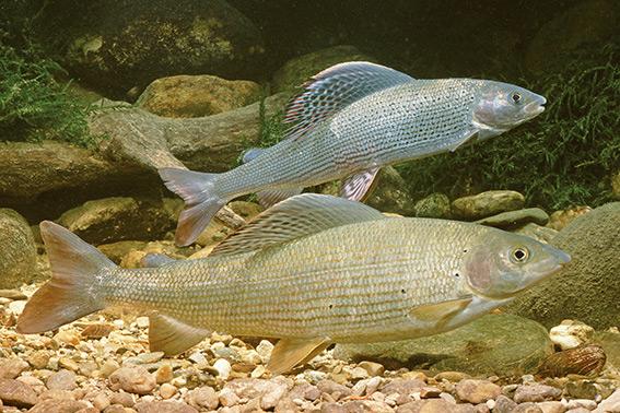 Fisch des Jahres 2011 – Die Äsche (Thymallus thymallus)