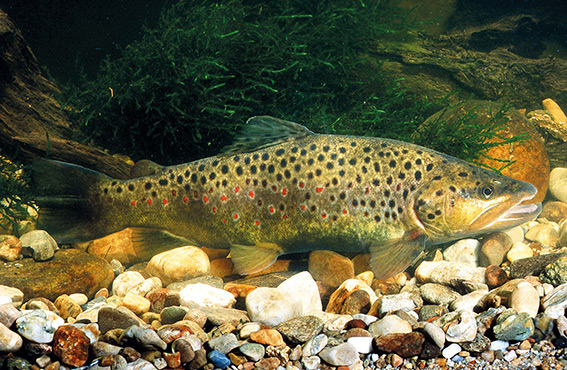 Fisch des Jahres 2013 - Die Forelle