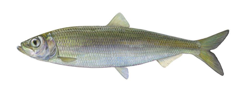Fisch des Jahres 2021 - Der Herring (Clupea harengus)