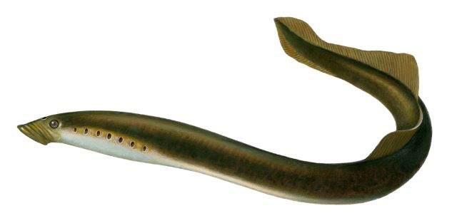 Fisch des Jahres 2012 - Die Neunaugen